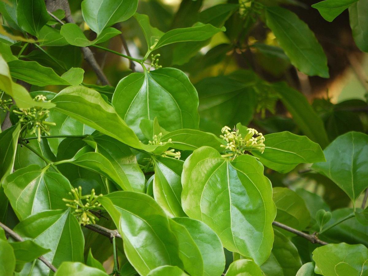 El Strychnos nux vomica es una planta tropical