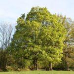 El Acer campestre es un árbol grande