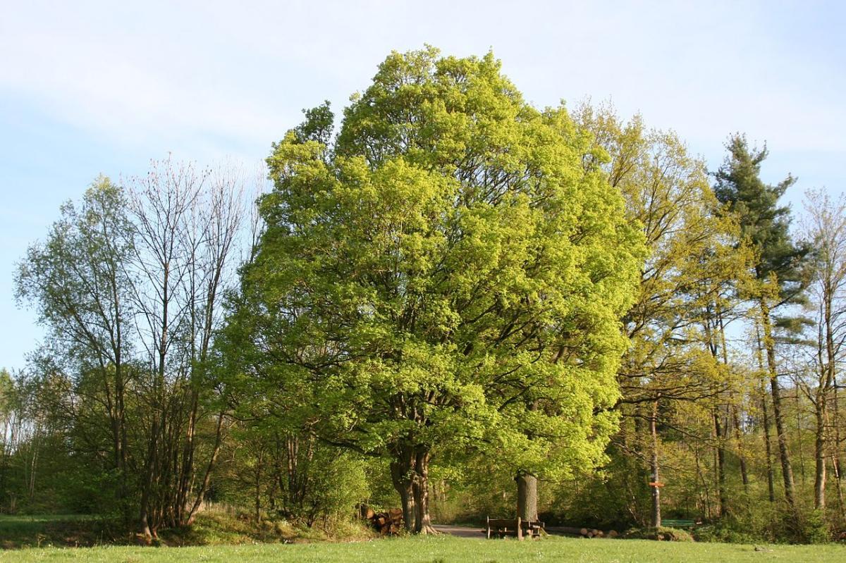 El Acer campestre es un árbol típico del bosque caducifolio templado