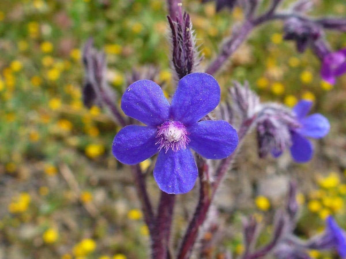 La Anchusa azurea tiene flores azules