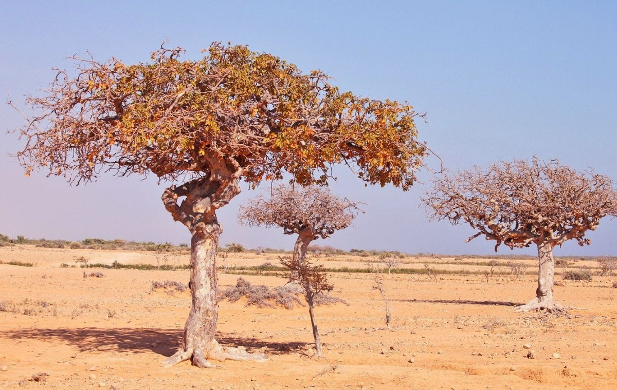arbol de la mirra dentro de un paraje seco