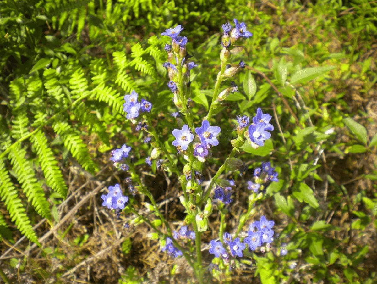 arbusto de la Anchusa azurea