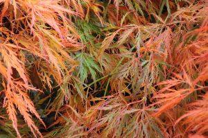 El arce japonés puede tener las hojas secas por muchos motivos