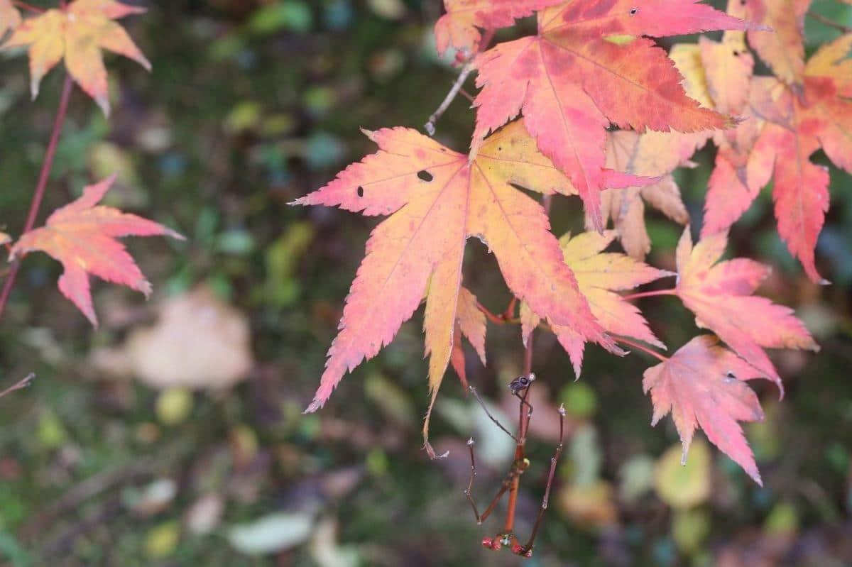 Las hojas del arce japonés se vuelven marrones en otoño