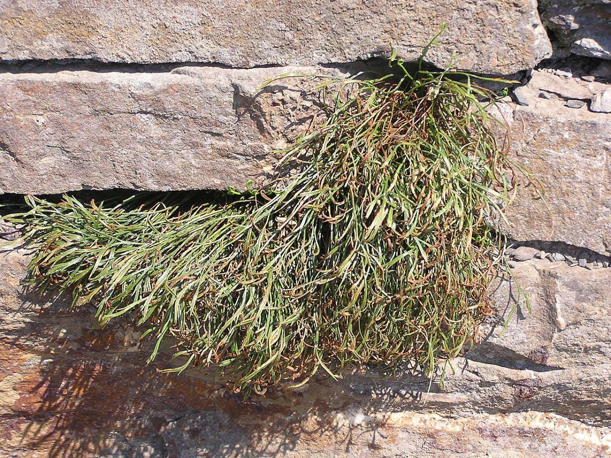 El Asplenium bifurcatum es litófita