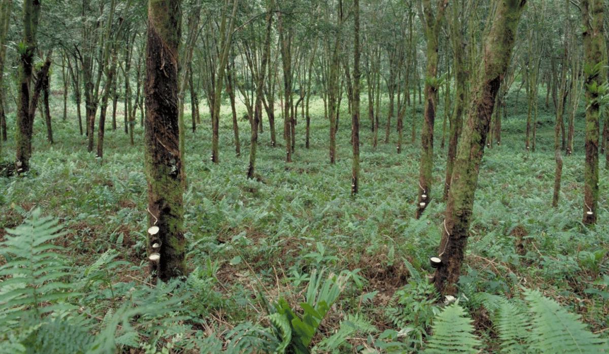 bosque lleno de Hevea Brasiliensis