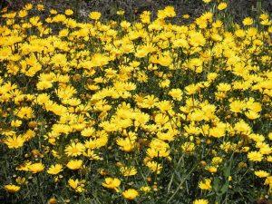 campo lleno de Chrysanthemum coronarium