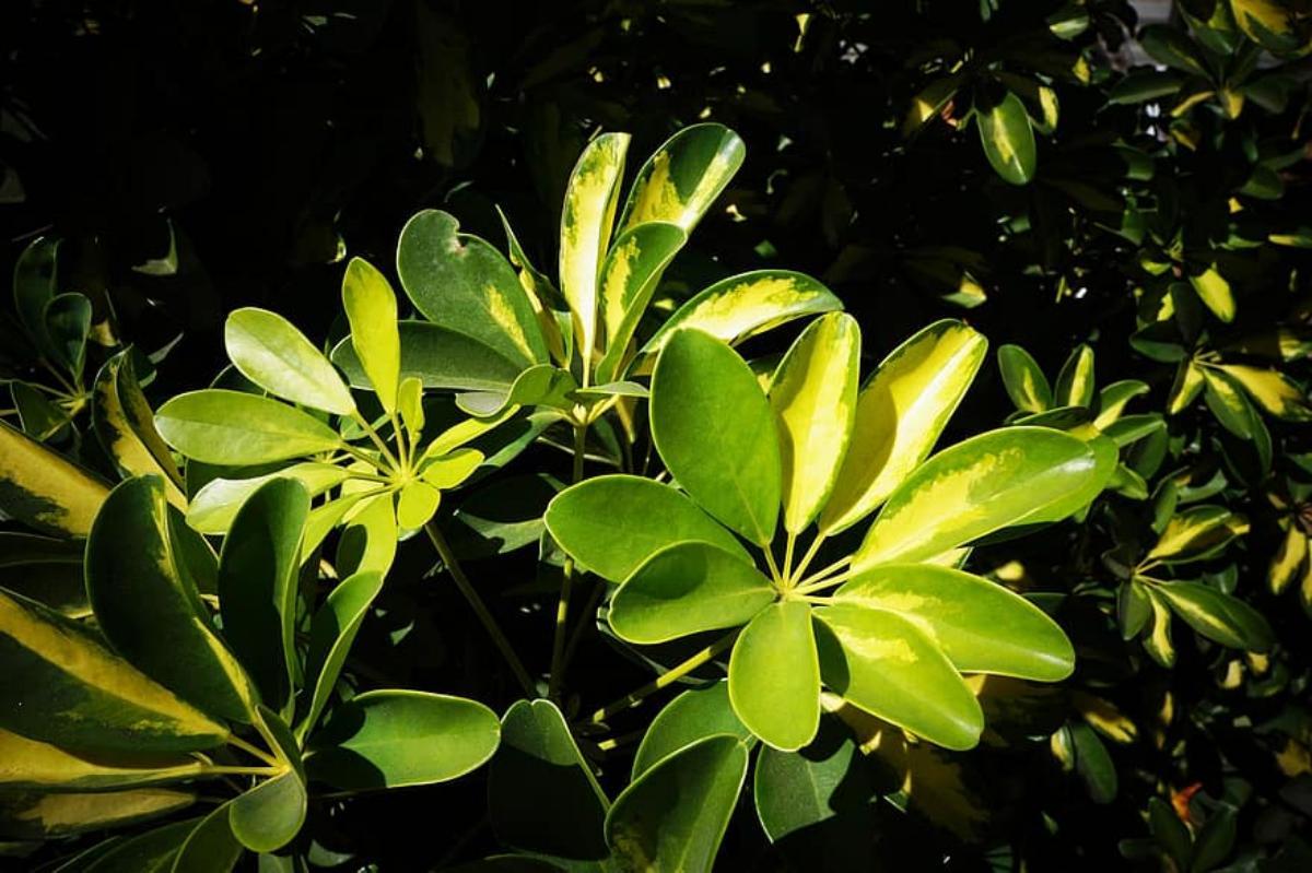 El nitrofoska se echa cuando las plantas están sanas