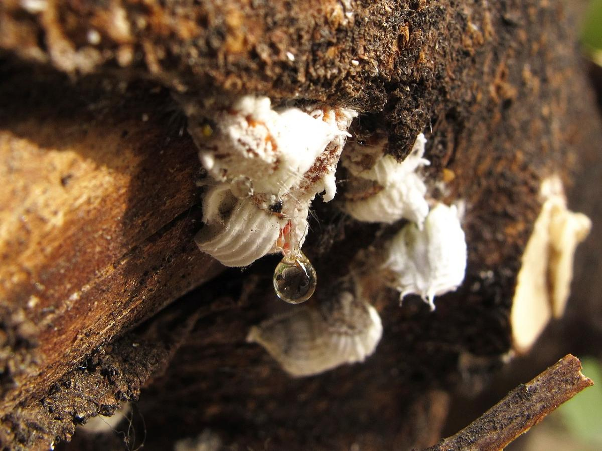 Las cochinillas son unas de las plagas más comunes