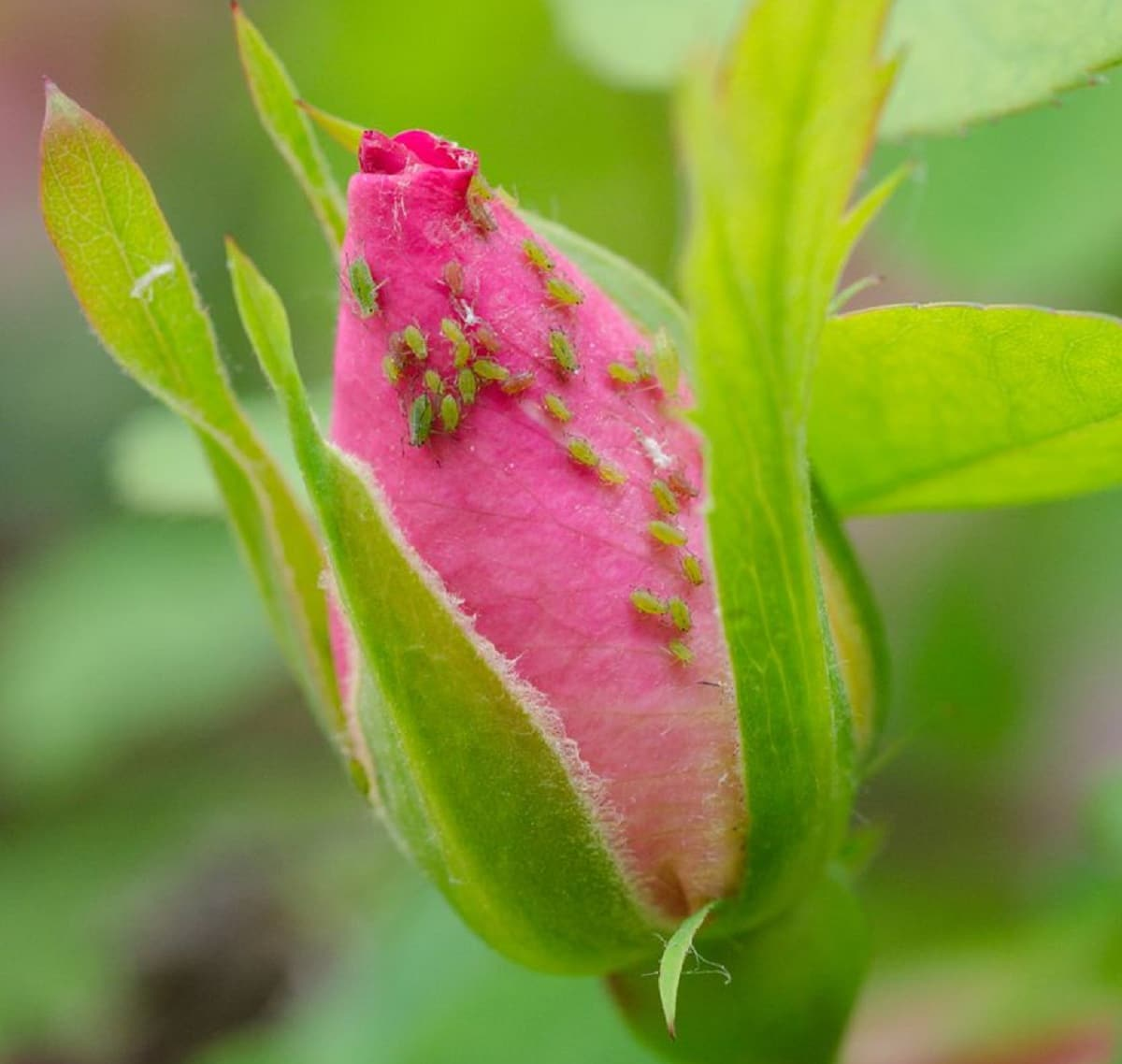 como eliminar pulgones de las rosas
