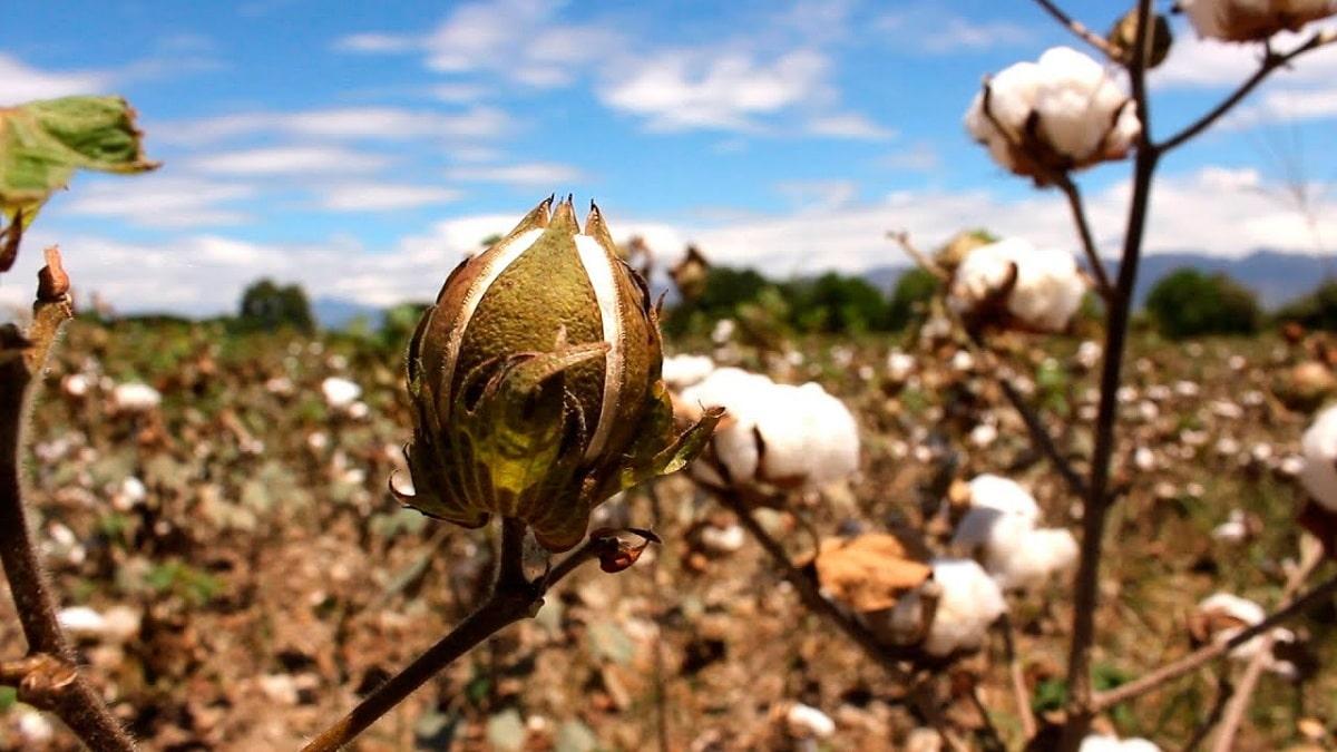 como se cultiva el algodon