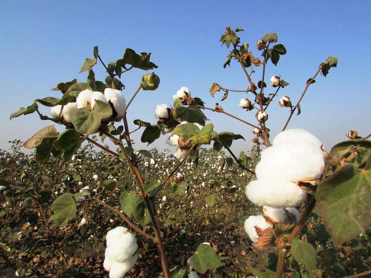 como se siembra la semilla del algodon