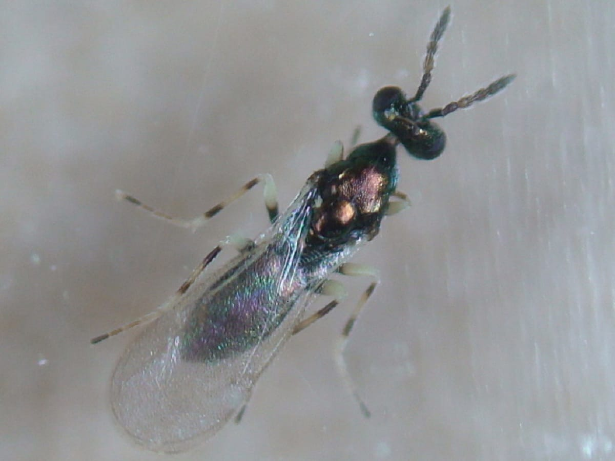 diglyphus isaea
