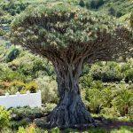 El drago milenario está en Tenerife