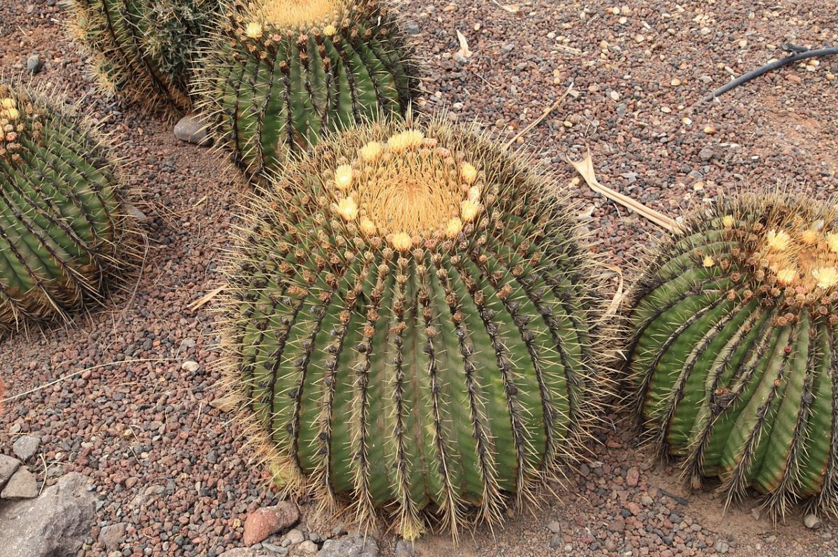 El Echinocactus platyacanthus es un cactus redondo de joven