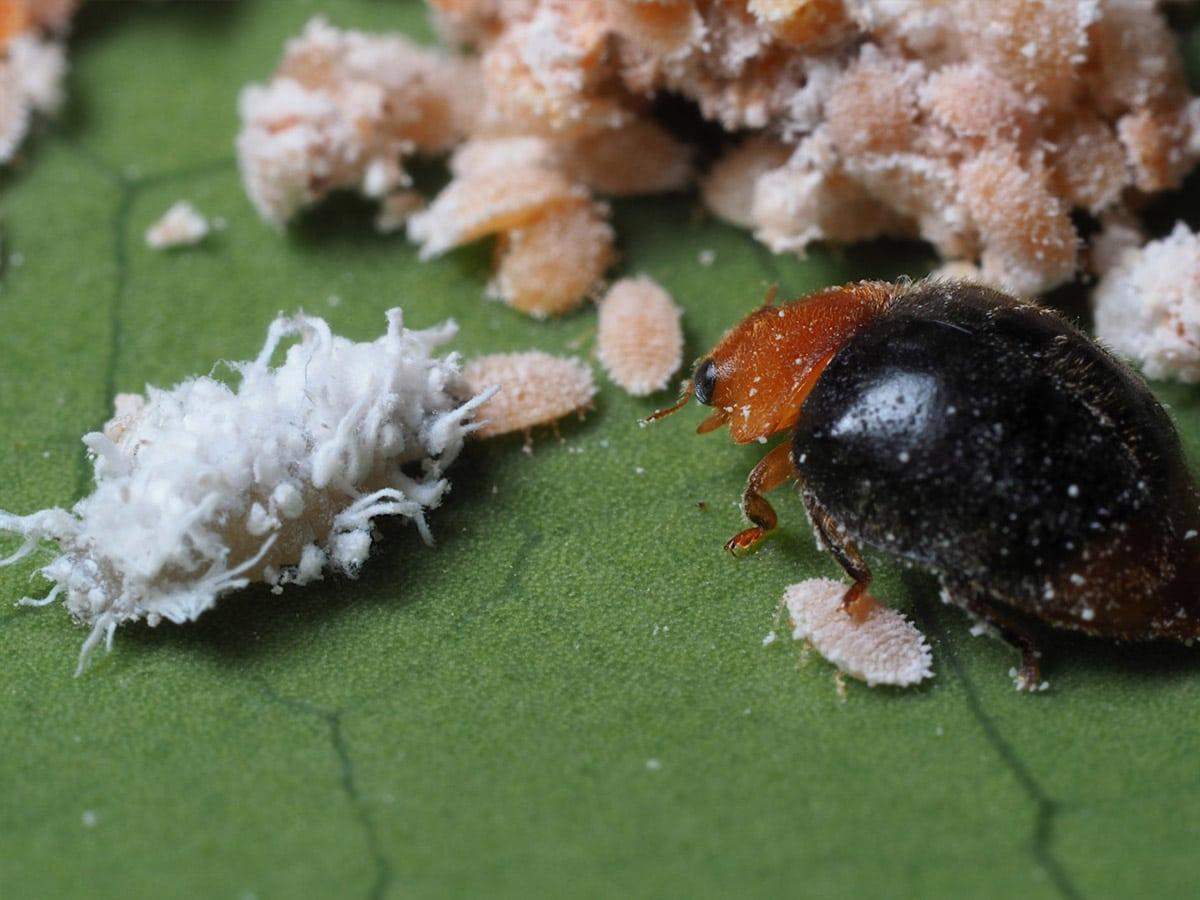 escarabajos contra la cochinilla