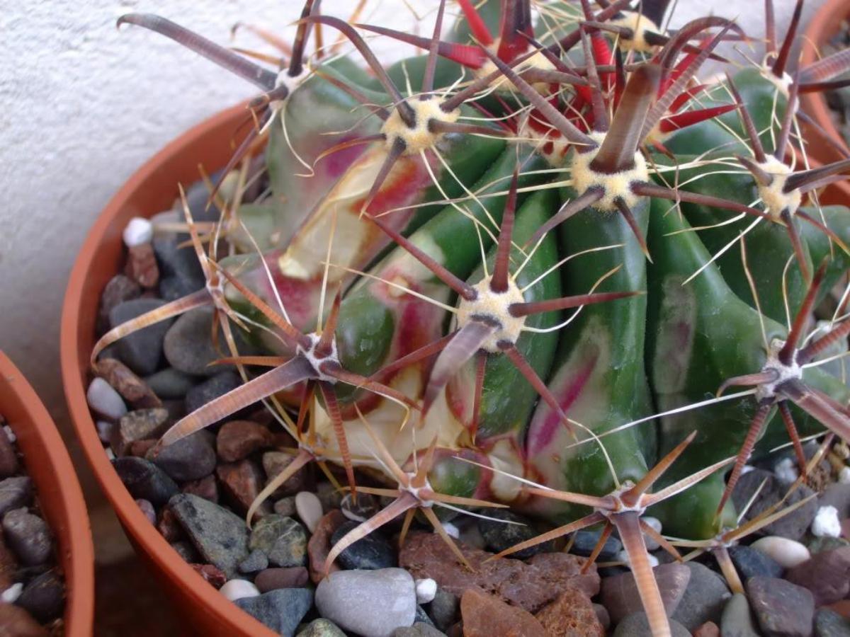 Ferocactus con quemaduras solares en un lado