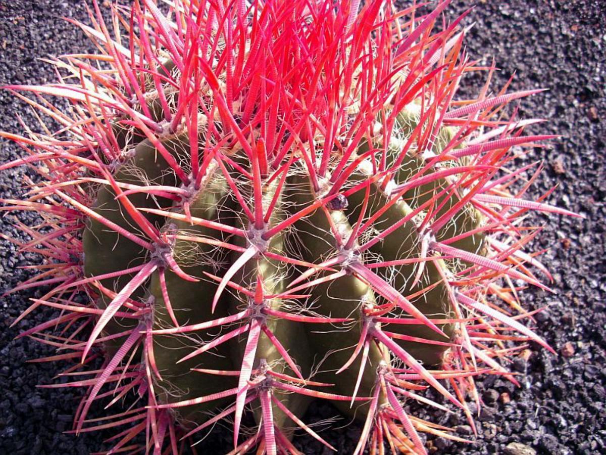 Vista del Ferocactus stainessii