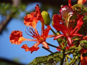 El flamboyan es un árbol tropical