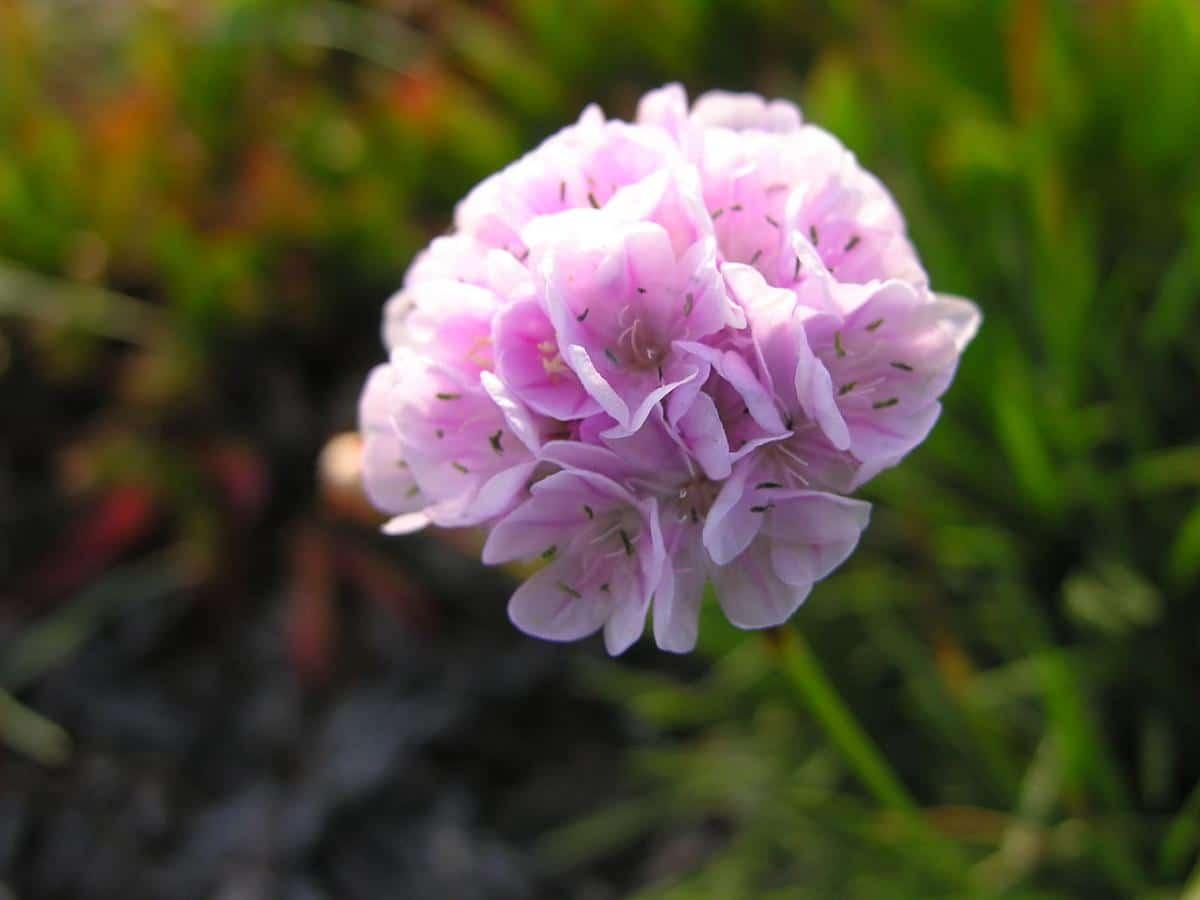 La Armeria pungens es una planta pequeña