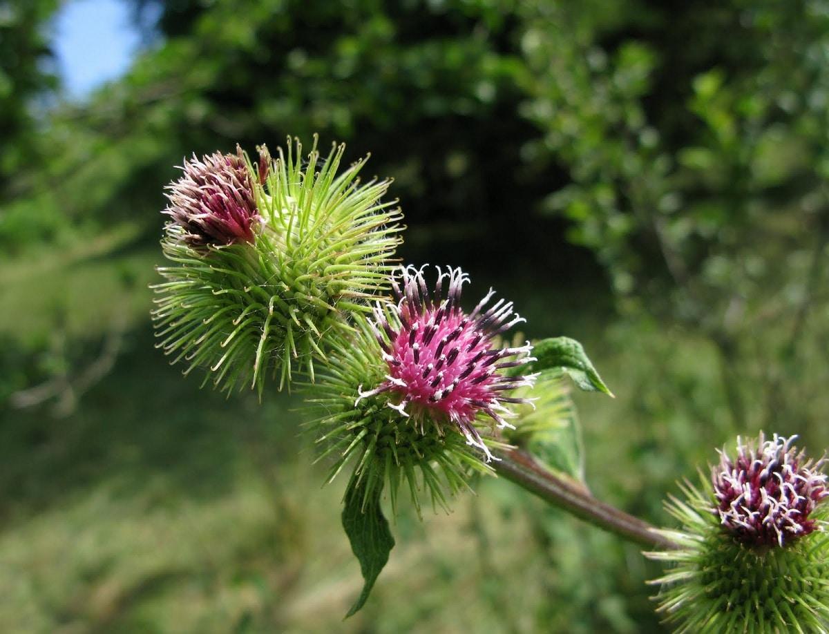 flores de bardana