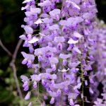 La Glicinia es una planta que florece en primavera