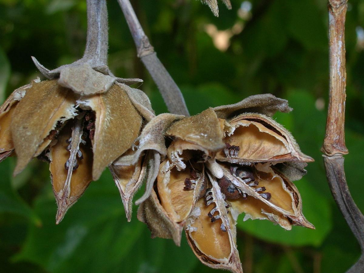 Puedes conseguir semillas de hibiscos en casa