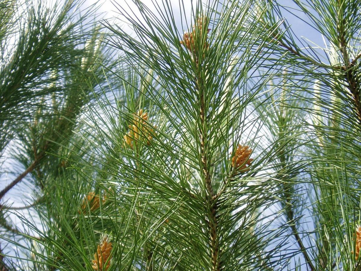 hojas del pino piñonero