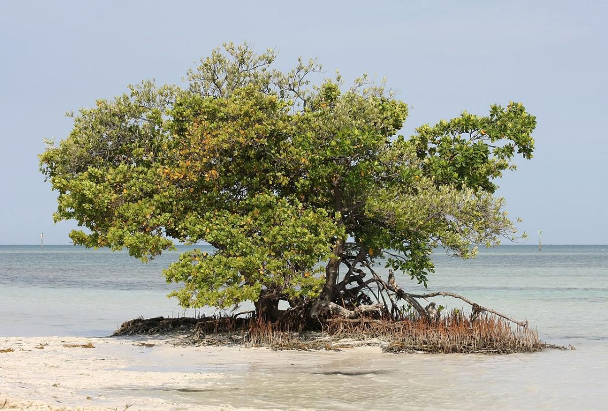 El mangle blanco es un árbol marino