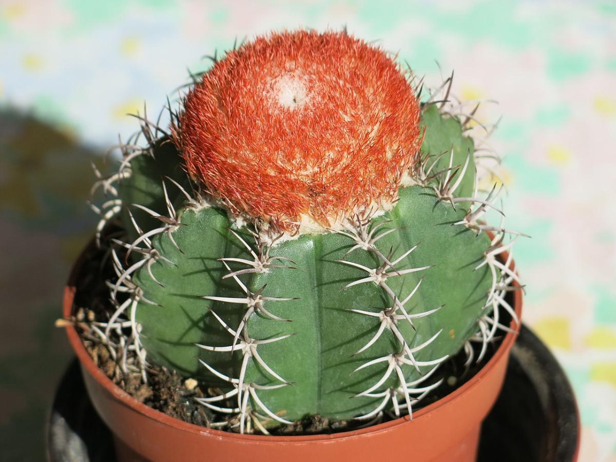 El Melocactus matanzanus es un cactus redondo pequeño