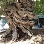 La olivera de Cort es un olivo monumental de Mallorca