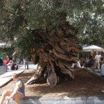 El olivo de Cort tiene unos 600 años
