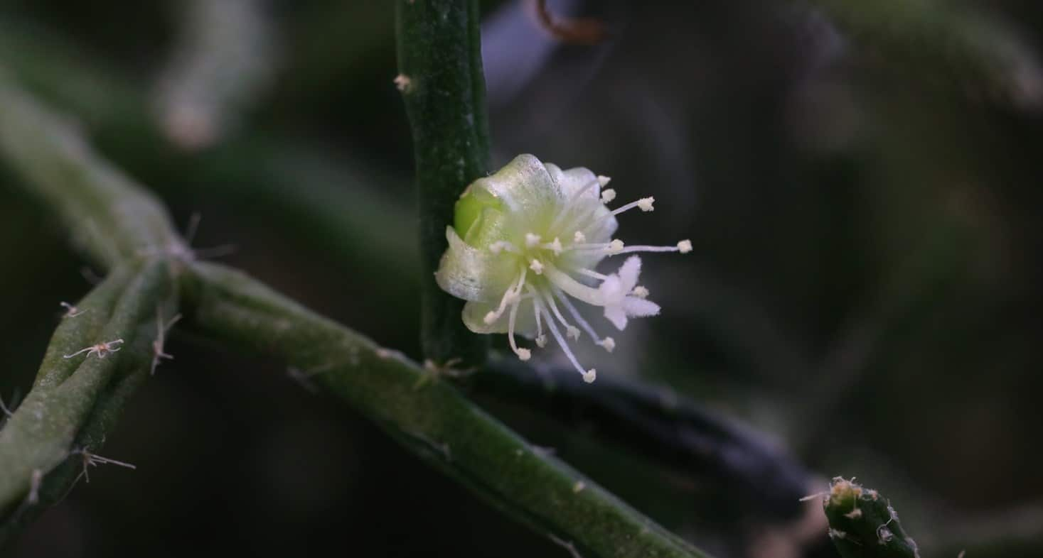 pequena flor blanca que aparece de la Rhipsalis burchellii
