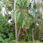 La Phoenix rupicola es una palmera litófita
