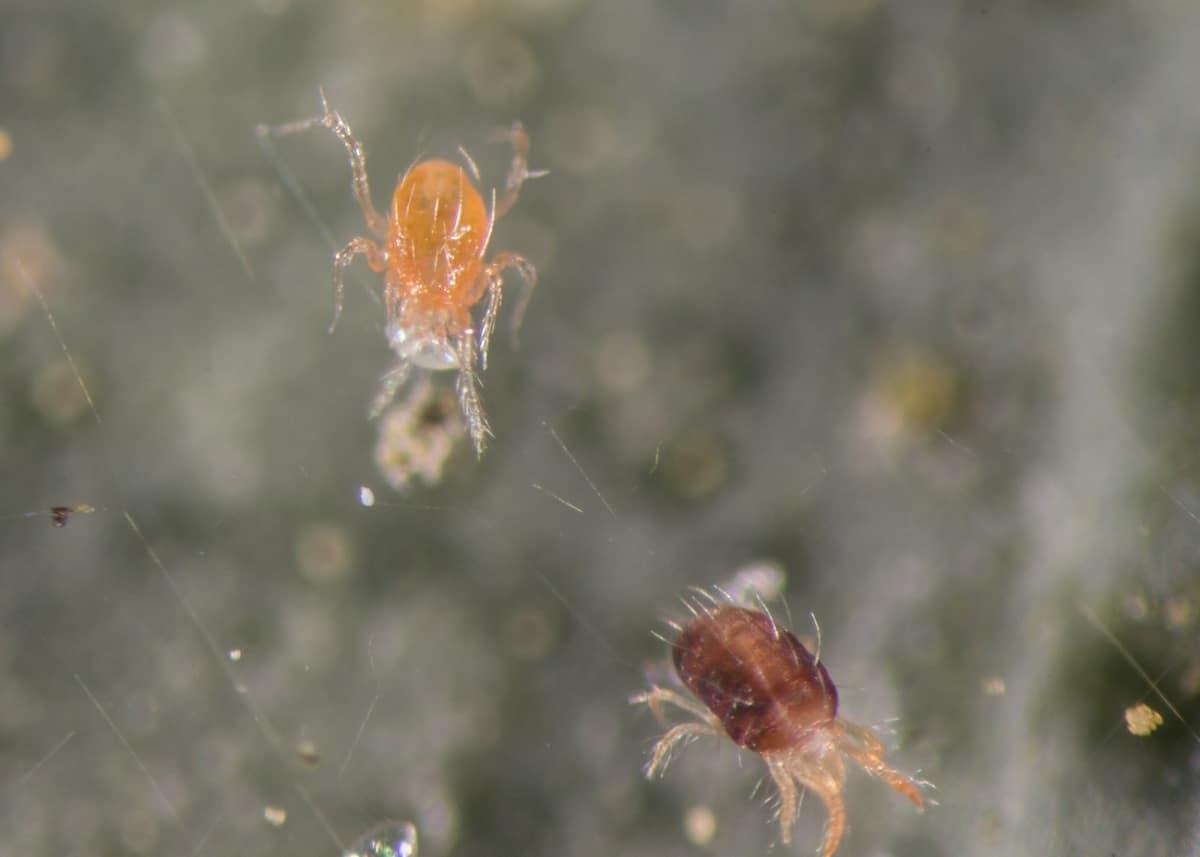 phytoseiulus persimilis cazando