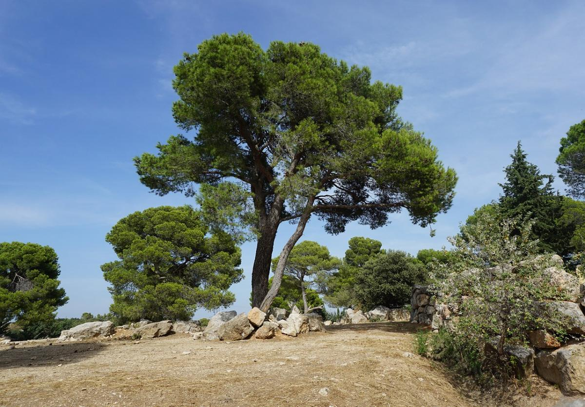 El pino carrasco crece en la playa