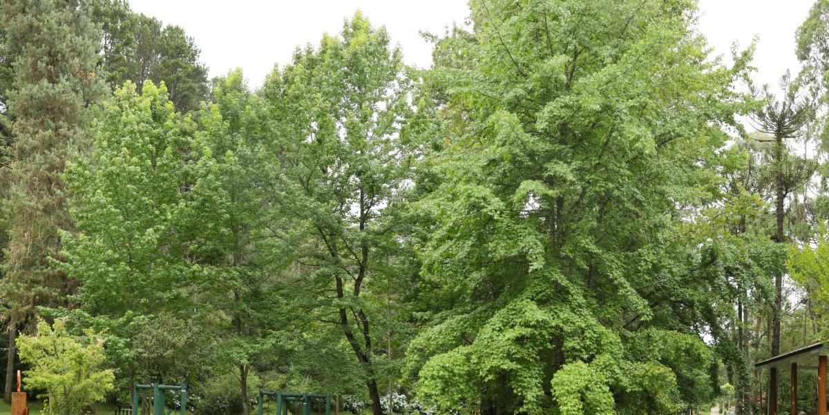 Los pinos son árboles grandes