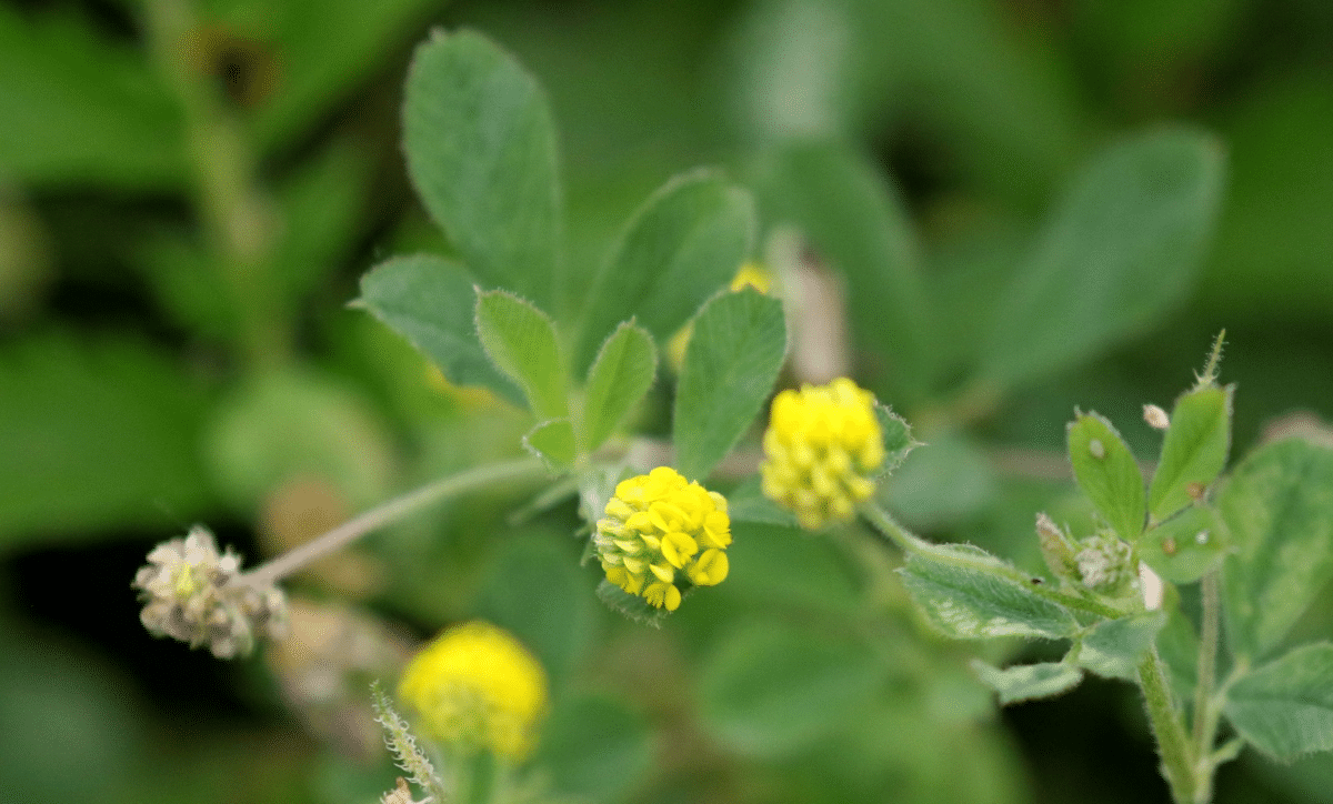 planta con flores de color amarillo