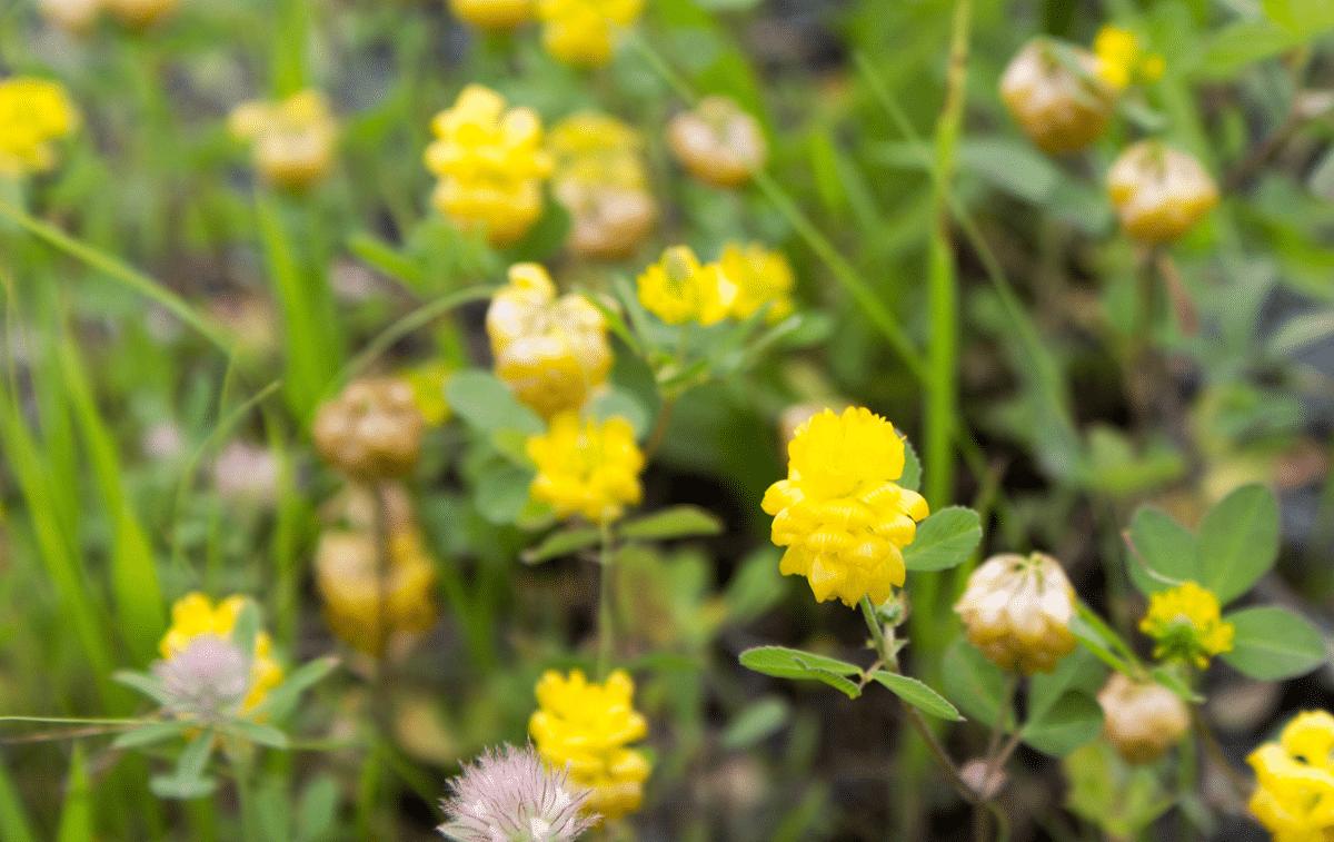 planta llena de flores amarillas llamada Medicago lupulin