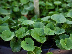 El nitrofoska ayuda a que las plantas estén verdes