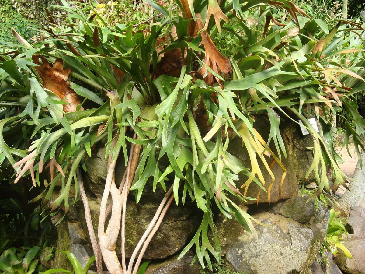 El Platycerium bifurcatum es un helecho epífito
