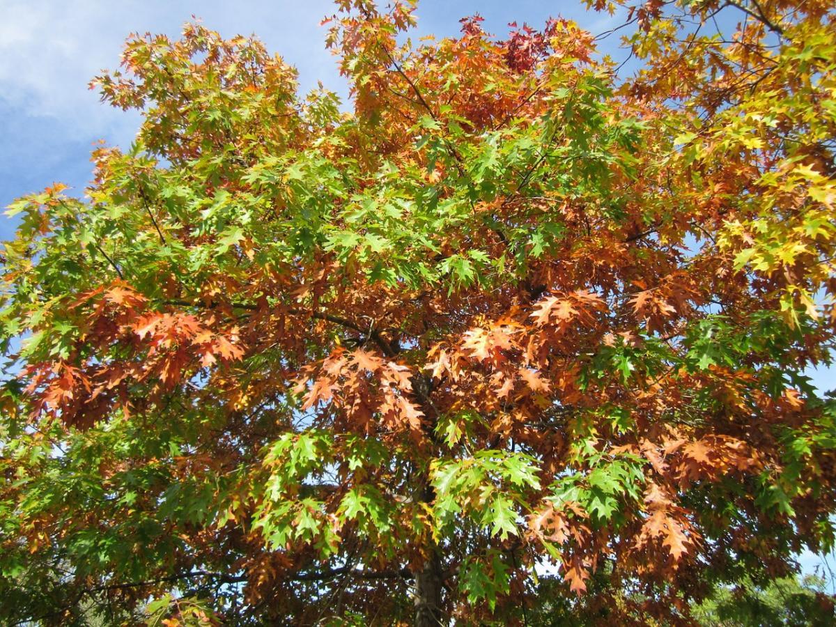 Los Quercus no pierden sus hojas en invierno