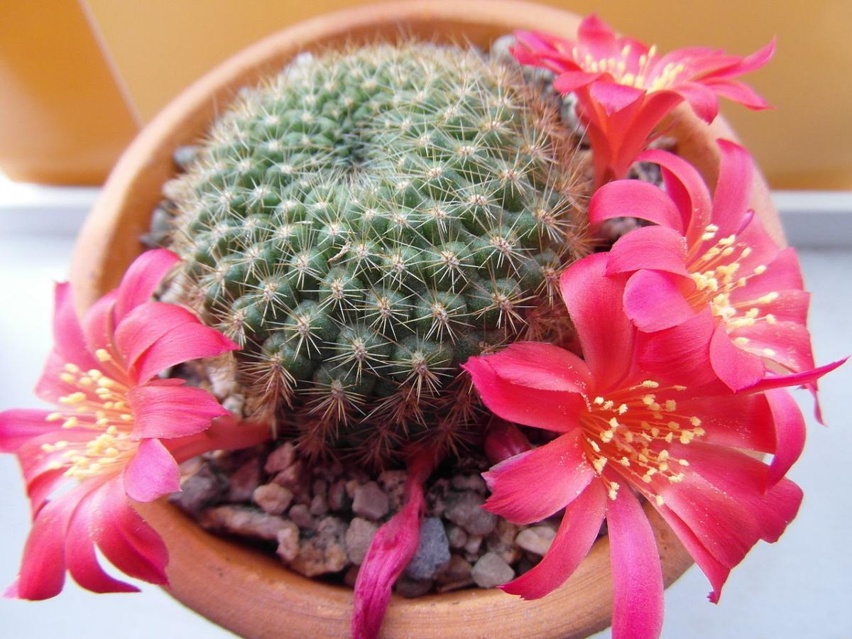 La Rebutia muscula es un pequeño cactus redondo de flores rosas