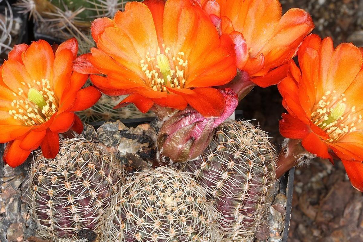 La Rebutia pygmaea es un cactus redondo de flores naranjas