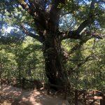 El roble de Estalaya es un árbol monumental