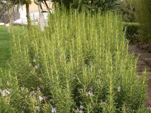 El romero es una planta que resiste la sequía