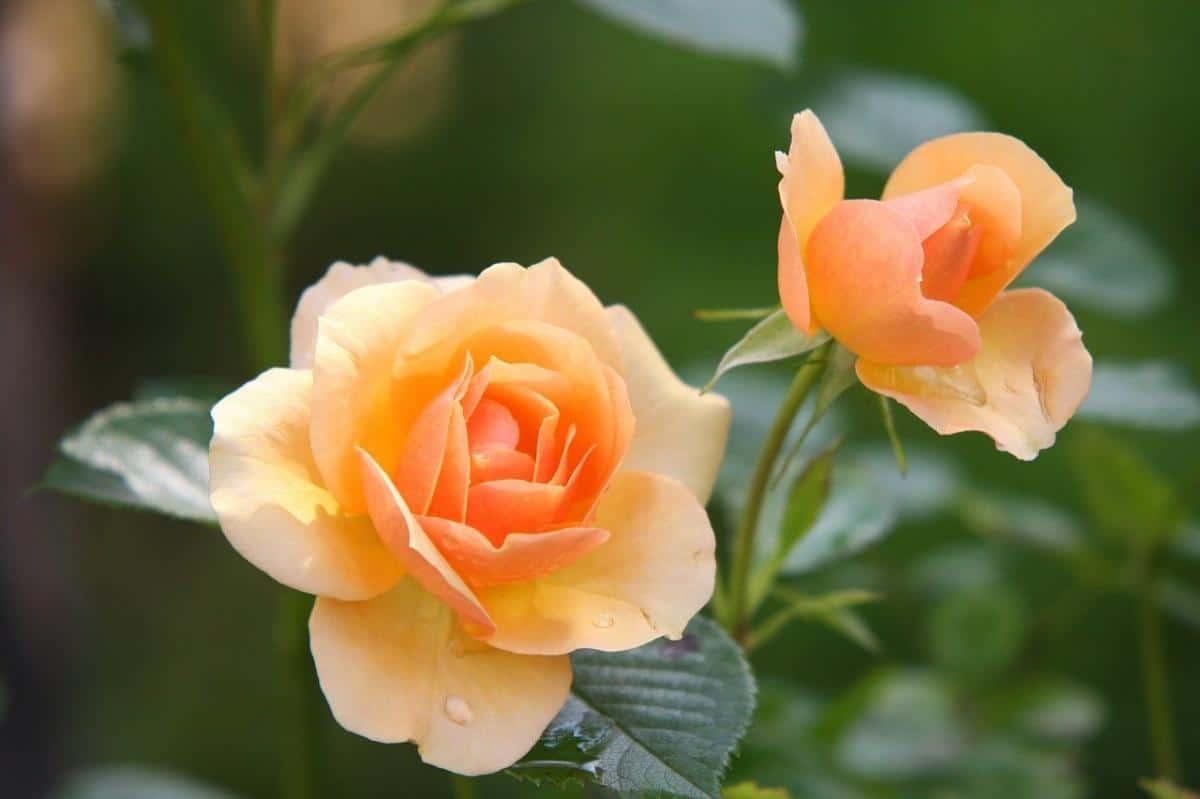 El rosal puede tener rhizoctonia