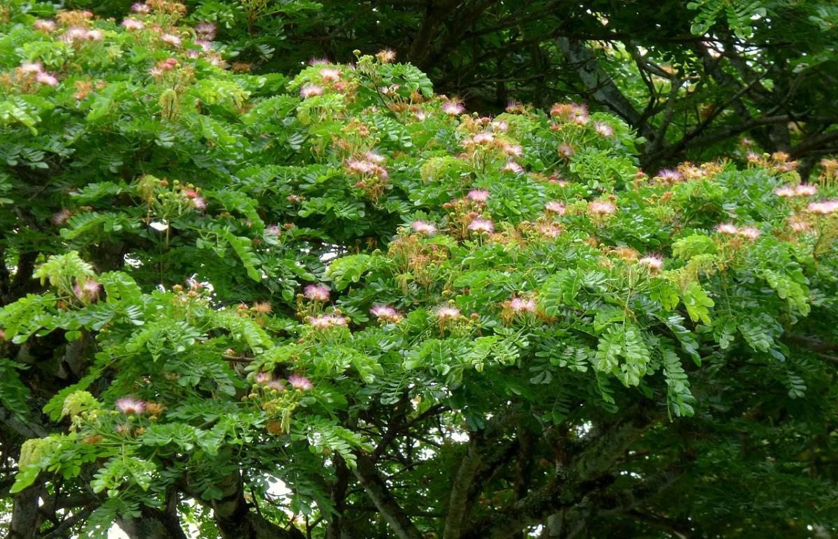 El árbol del samán es caducifolio