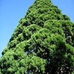 La Secuoya gigante puede vivir en España