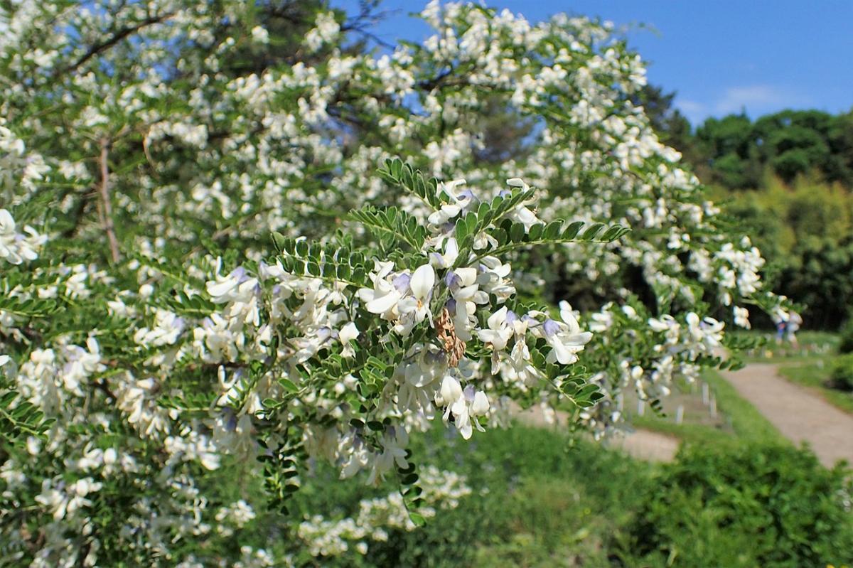 La Sophora davidii es un arbusto